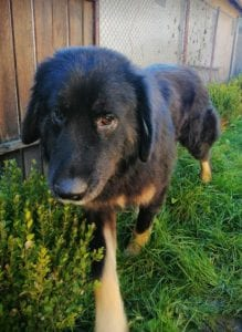 Luie a large black and tan Romanian rescue dog 2 ¦ 1 Dog at a Time Rescue UK