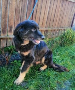 Luie a large black and tan Romanian rescue dog 3 ¦ 1 Dog at a Time Rescue UK