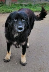 Luie a large black and tan Romanian rescue dog 4 ¦ 1 Dog at a Time Rescue UK