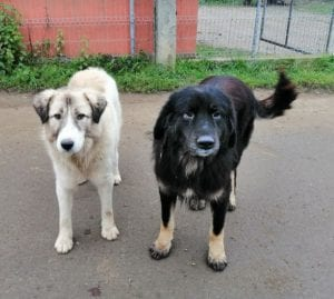 Luie a large black and tan Romanian rescue dog 5 ¦ 1 Dog at a Time Rescue UK