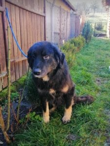 Luie a large black and tan Romanian rescue dog 6 ¦ 1 Dog at a Time Rescue UK