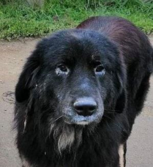 Luie a large black and tan Romanian rescue dog profile picture ¦ 1 Dog at a Time Rescue UK