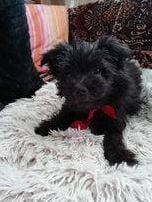 Faith a small black Romanian Rescue Dog ¦ 1 Dog at a Time Rescue UK