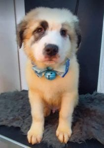 Noah Romania rescue puppy ¦ 1 Dog at a Time Rescue UK