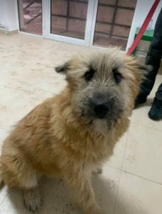 Willow faun coloured Romanian rescue dog 5 ¦ 1 Dog at a Time Rescue UK