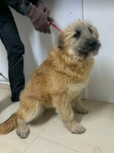 Willow faun coloured Romanian rescue dog ¦ 1 Dog at a Time Rescue UK