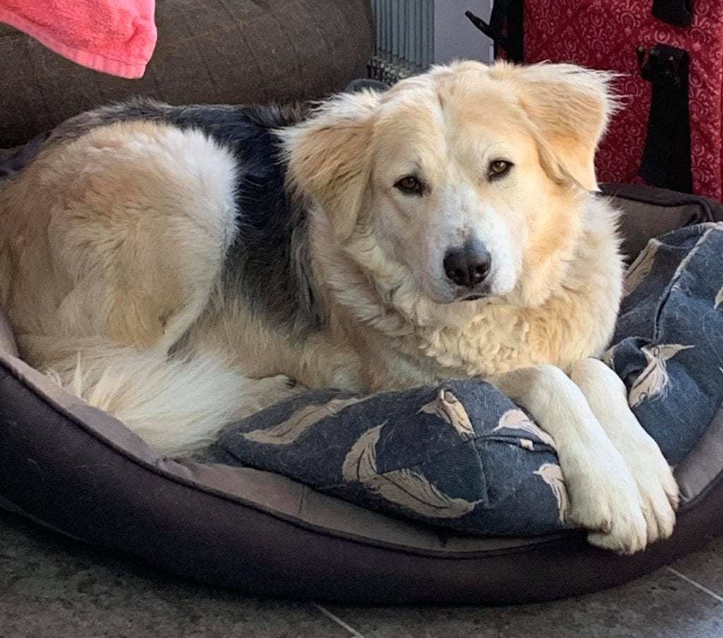 Zeus a Romanian rescue dog in his bed | 1 Dog At a Time Rescue UK