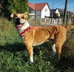 Camion white and tan Romanian rescue dog ¦ 1 Dog at a Time Rescue UK
