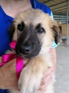 Cayci a fawn coloured Romanian rescue puppy   1 Dog at a Time Rescue UK