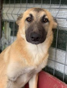 Cayci a fawn coloured Romanian rescue puppy | 1 Dog at a Time Rescue UK