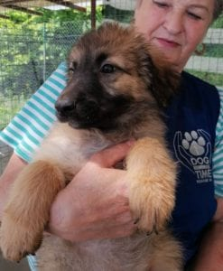 Chester a fawn coloured Romanian rescue puppy | 1 Dog at a Time Rescue UK