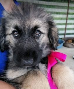 Cidney a black and tan Romanian rescue puppy   1 Dog at a Time Rescue UK