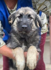Cidney a black and tan Romanian rescue puppy | 1 Dog at a Time Rescue UK