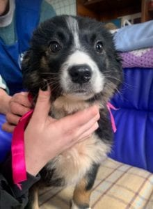 Daisy a black and white Romanian rescue puppy ¦ 1 Dog at a Time Rescue UK
