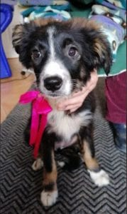 Daisy a black and white Romanian rescue puppy   1 Dog at a Time Rescue UK