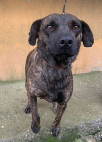 Della a brindle Romanian resuce dog ¦ 1 Dog at a Time Rescue UK