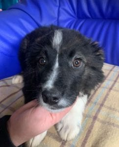 Demi a black and white Romanian rescue puppy ¦ 1 Dog at a Time Rescue UK