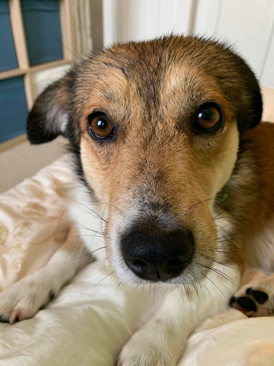 Dilly and brown and white Romanian rescue dog | 1 Dog At a Time Rescue UK