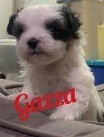 Gazza a Romanian rescue puppy ¦ 1 Dog at a Time Rescue UK