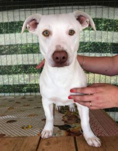 Joey a white Romanian rescue puppy | 1 Dog at a Time Rescue UK