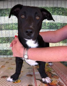 Jonnie a black and white Romanian rescue puppy | 1 Dog at a Time Rescue UK