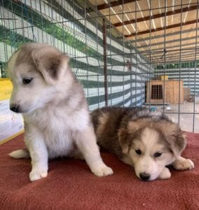 Kayla and Georgia white and grey Romanian rescue puppies | 1 Dog at a Time Rescue UK