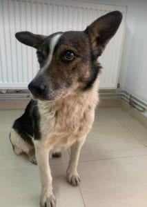 Kenny a white and brown Romanian rescue dog ¦ 1 Dog at a Time Rescue UK