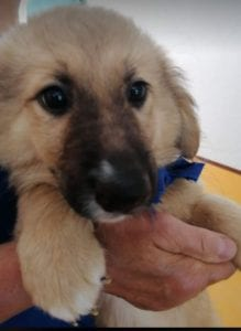 Lewis a faun coloured Romanian rescue puppy | 1 Dog at a Time Rescue UK