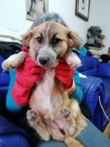 Missy a tan coloured Romanian rescue dog ¦ 1 Dog at a Time Rescue UK