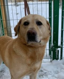 Murphy a lab mix Romanian rescue dog ¦ 1 Dog at a Time Rescue UK