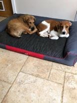 Ronnie and Reggie Romanian rescue puppies | 1 Dog At a Time Rescue UK
