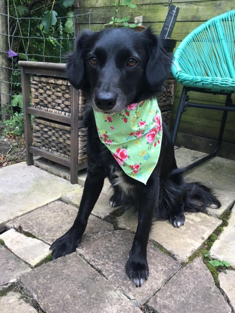 Remy a black Romanian rescue dog wearing a bandana | 1 Dog At a Time Rescue UK