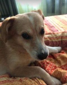 Rex a faun colour Romanian rescue dog ¦ 1 Dog at a Time Rescue UK