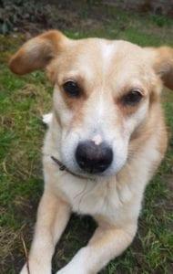 Rex a faun colour Romanian rescue dog | 1 Dog at a Time Rescue UK