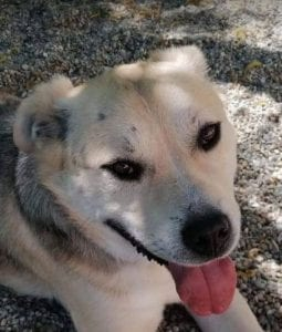 Rocco faun Romanian rescue dog   1 Dog at a Time Rescue UK