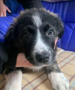Rudy a black and white Romanian rescue puppy ¦ 1 Dog at a Time Rescue UK