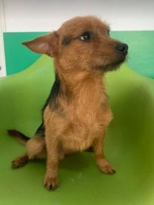 Rufus a small black and tan Romanian rescue dog ¦ 1 Dog at a Time Rescue UK