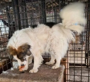 Sammy a white and tan Romanian rescue dog ¦ 1 Dog at a Time Rescue UK