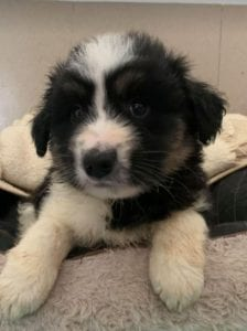 Terry a black and white Romanian rescue puppy ¦ 1 Dog at a Time Rescue UK