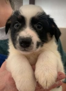 Toby a black and white Romanian rescue puppy ¦ 1 Dog at a Time Rescue UK