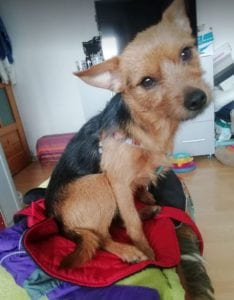 Tony a small black and tan Romanian rescue dog ¦ 1 Dog at a Time Rescue UK