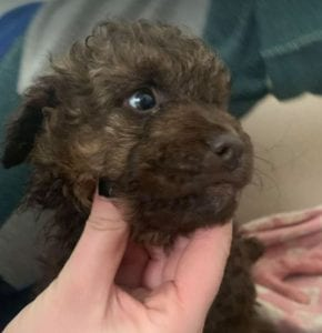 Travis a brown Romanian rescue puppy ¦ 1 Dog at a Time Rescue UK