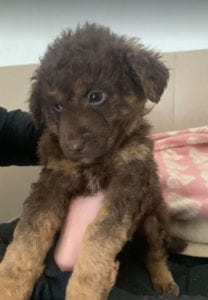Tucker a brown Romanian rescue puppy ¦ 1 Dog at a Time Rescue UK