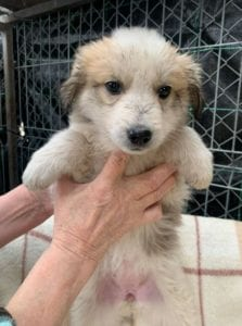 Catie a faun coloured Romanian rescue puppy ¦ 1 Dog at a Time Rescue UK
