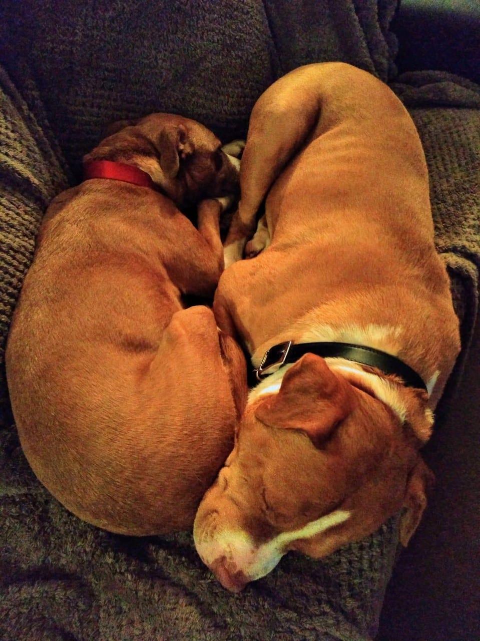 Chase an Amercian Bulldog cross cuddling | 1 Dog At a Time Rescue UK