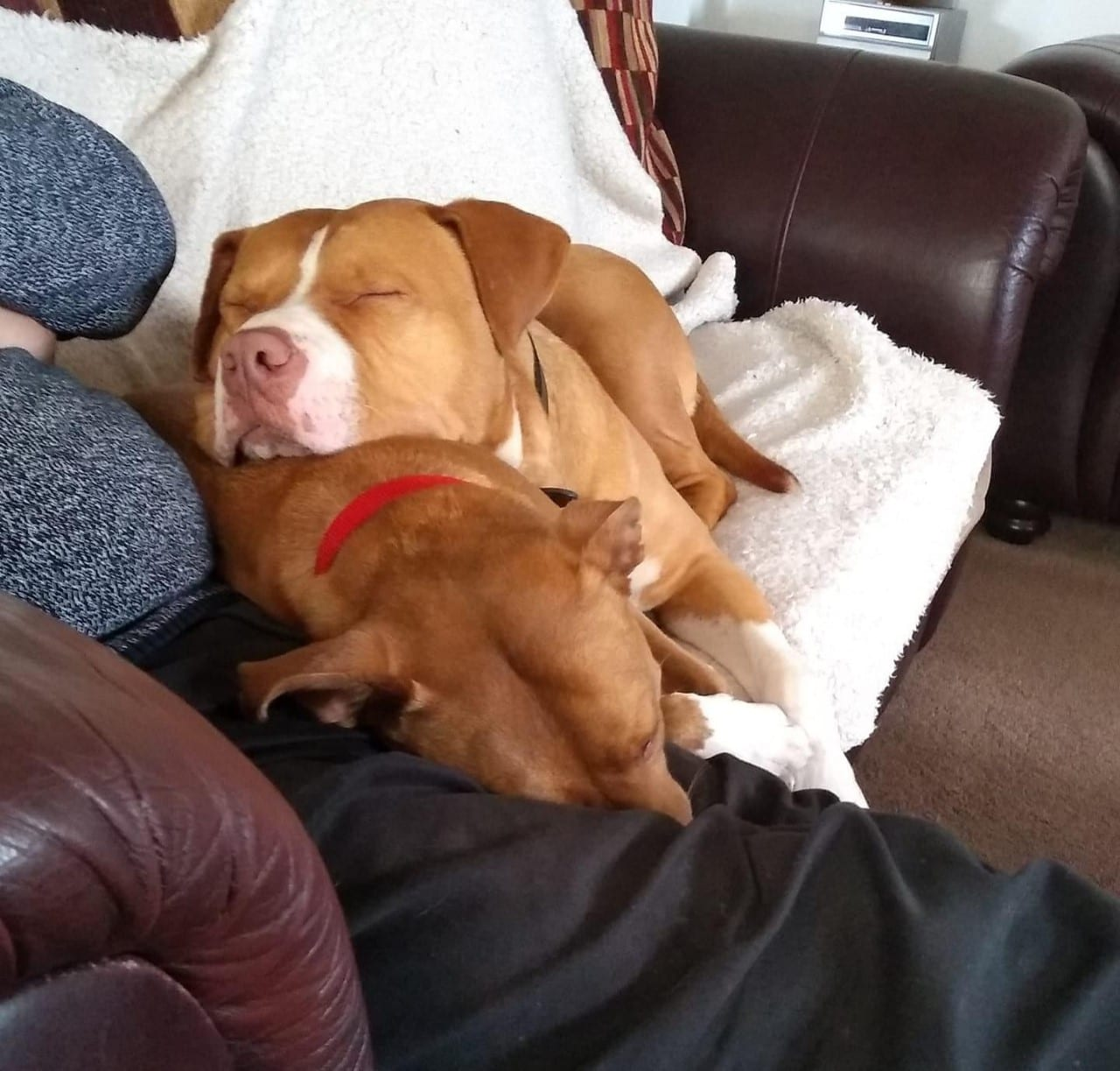 Chase an American Bulldog cross on the settee | 1 Dog At a Time Rescue UK
