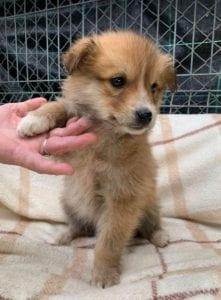 Chrissy a faun coloured Romanian rescue puppy ¦ 1 Dog at a Time Rescue UK