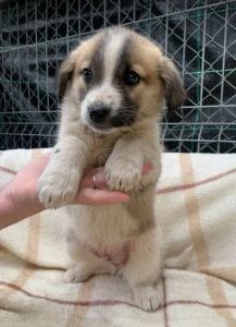 Cody a faun coloured Romanian rescue puppy | 1 Dog at a Time Rescue UK