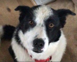 Robin a black and white Romanian Rescue Dog | 1 Dog At a Time Rescue UK