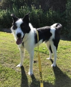 Aussie a black and white Romanian rescue dog | 1 Dog at a Time Rescue UK